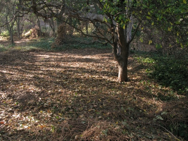 area cleared of ivy after FOAP event 9/23; E side oak woodland Albany Hill