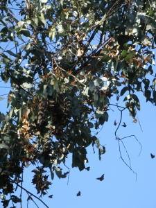 monarchs roosting on eucalyptusjust above fire road on crest Albany Hill