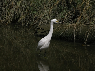snowy egret in Cerrito Creek, near Albany Hill; photo by Margot Cunningham