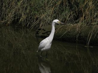 snowy egret in Cerrito Creek, near Albany Hill; photo by Margot Cunningham