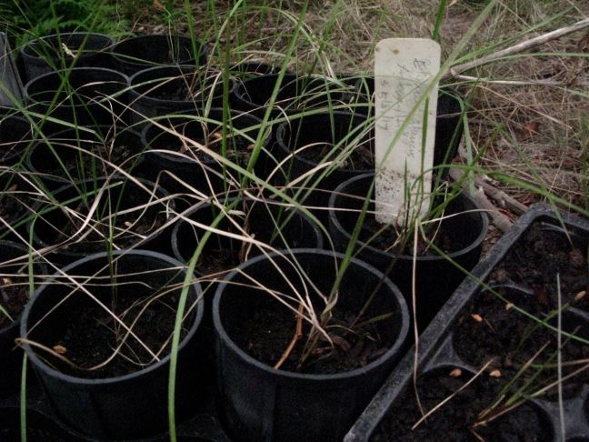 Elymus glaucus from Albany Hill, grown from seed