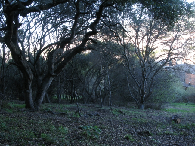 big oaks in woodland, E side Albany Hill